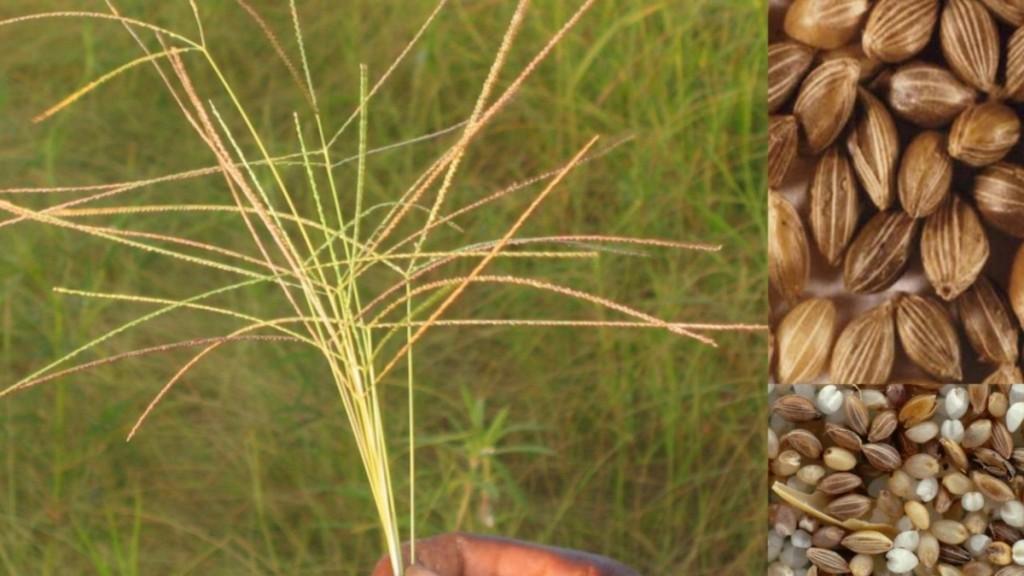 Extrémité d'une gerbe de fonio (Source: Enda Pronat) et des grains de fonio fortement agrandis